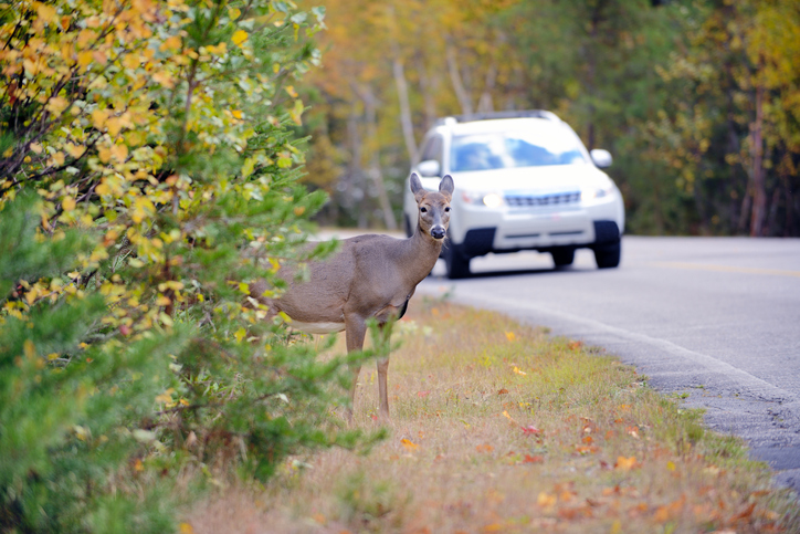 Car Insurance and Animal Collisions
